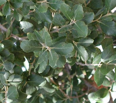 61-quercus_agrifoliasm.jpg